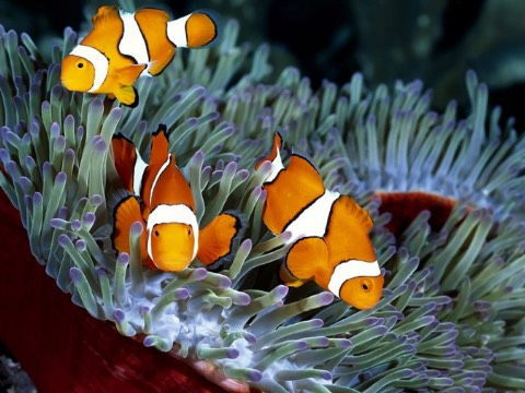 Amphiprion ocellaris CUL